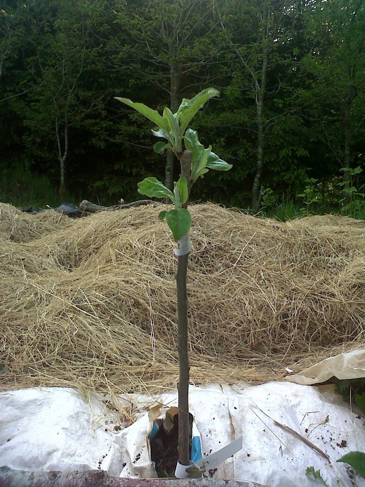 graft tree buds removed
